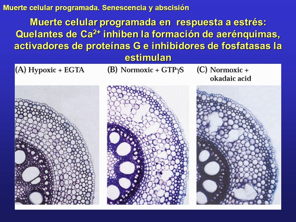 Muerte celular programada en respuesta a estrés: Quelantes de Ca2+ inhiben la formación de aerénquimas, activadores de proteínas G e inhibidores de fosfatasas la estimulan