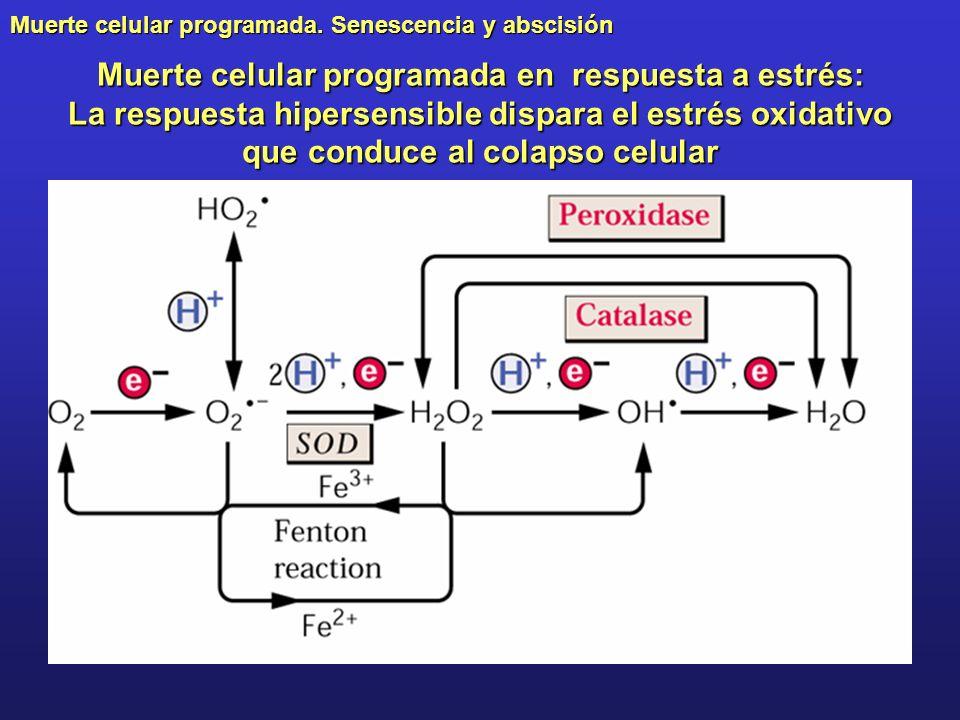 Muerte celular programada en respuesta a estrés: La respuesta hipersensible dispara el estrés oxidativo que conduce al colapso celular