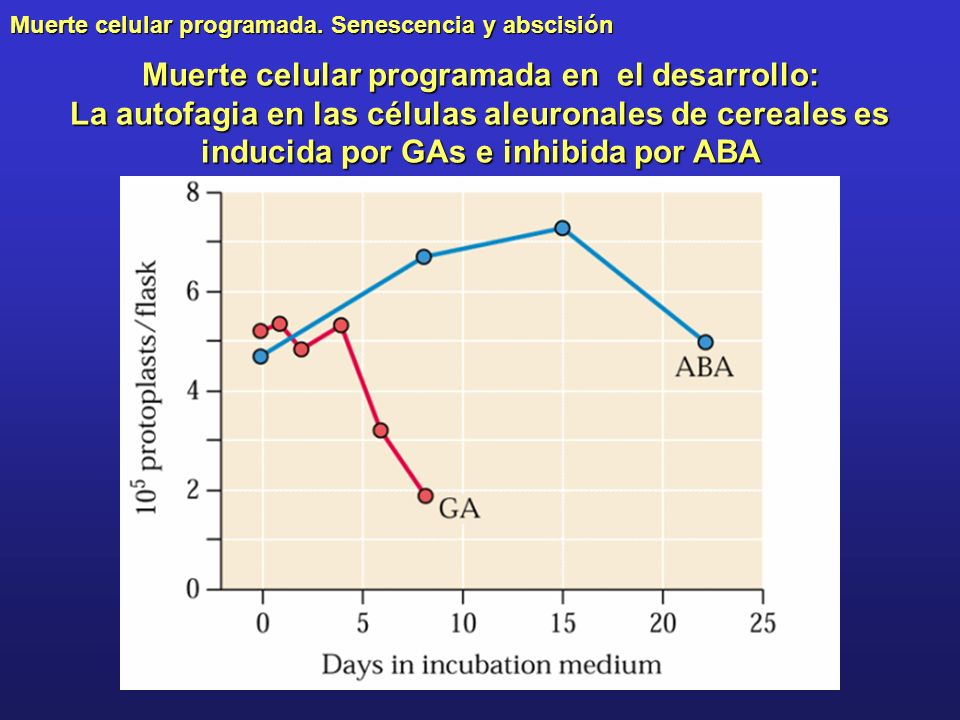 Muerte celular programada en el desarrollo: La autofagia en las células aleuronales de cereales es inducida por GAs e inhibida por ABA