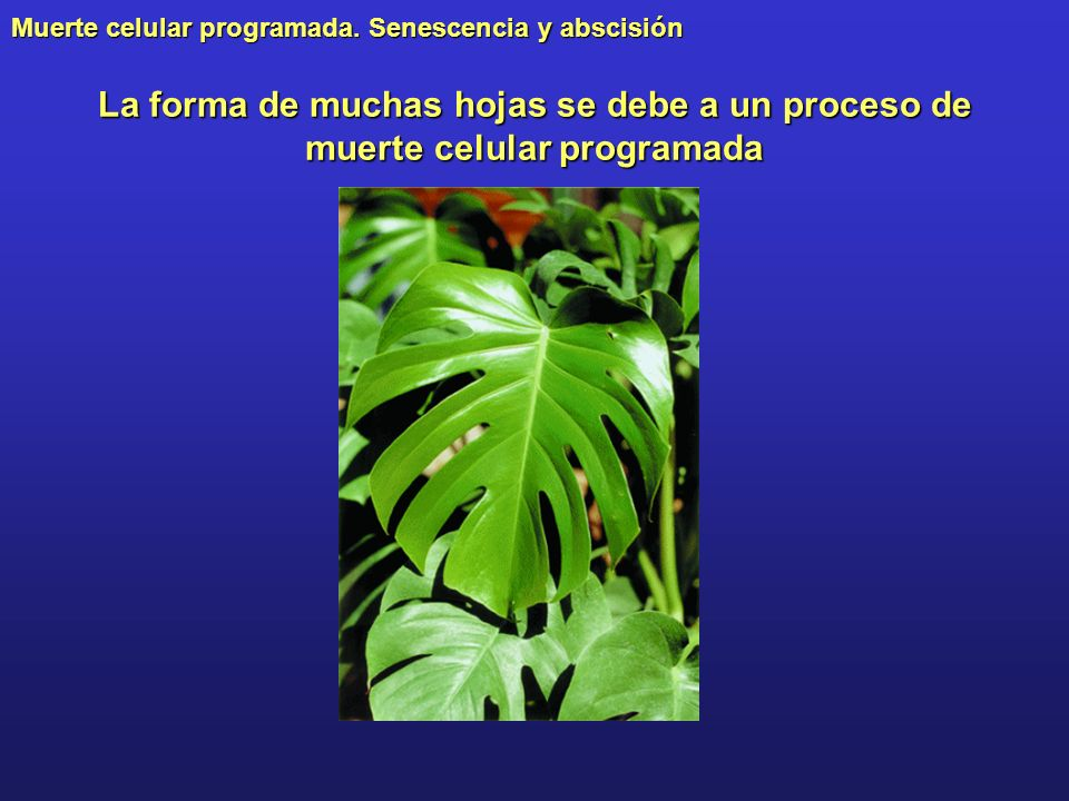 La forma de muchas hojas se debe a un proceso de muerte celular programada