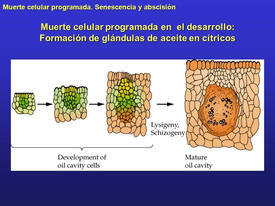Muerte celular programada en el desarrollo: Formación de glándulas de aceite en cítricos
