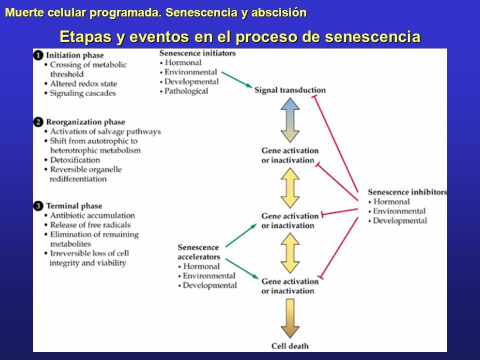 Etapas y eventos en el proceso de senescencia