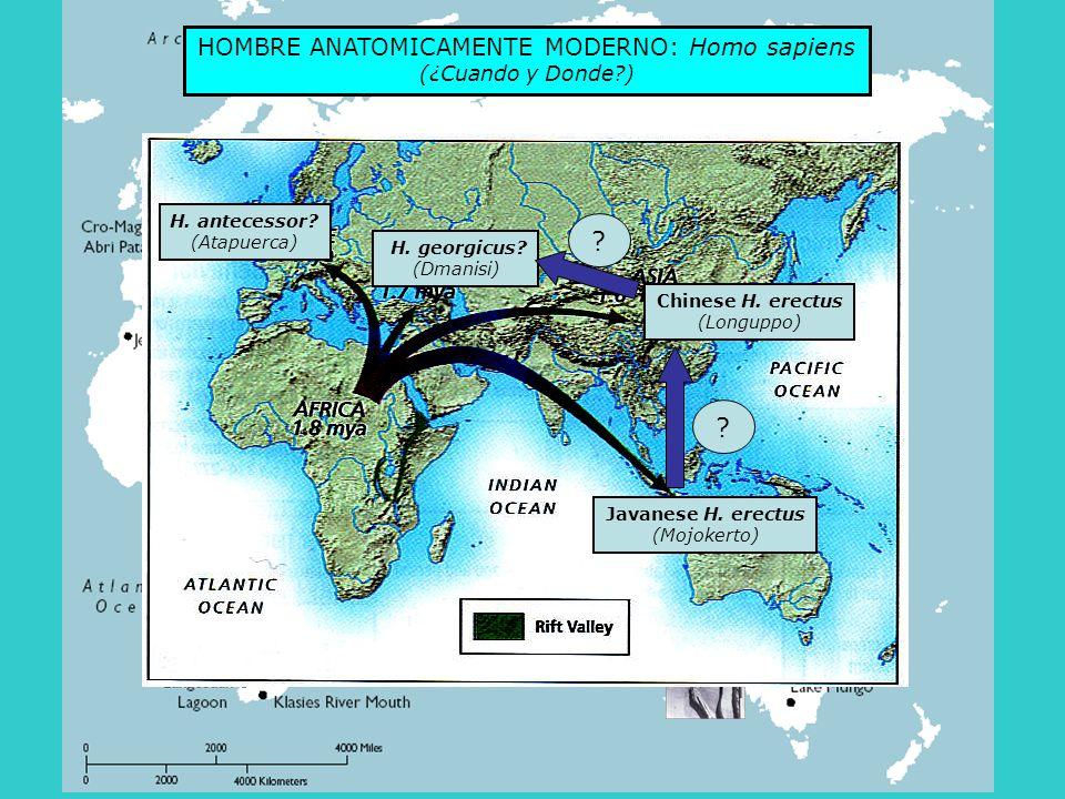 HOMBRE ANATOMICAMENTE MODERNO: Homo sapiens