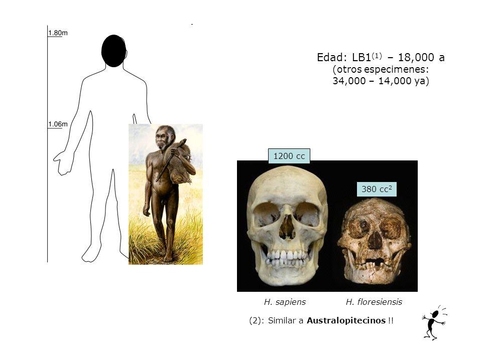 Edad: LB1(1) – 18,000 a (otros especimenes: 34,000 – 14,000 ya) 25