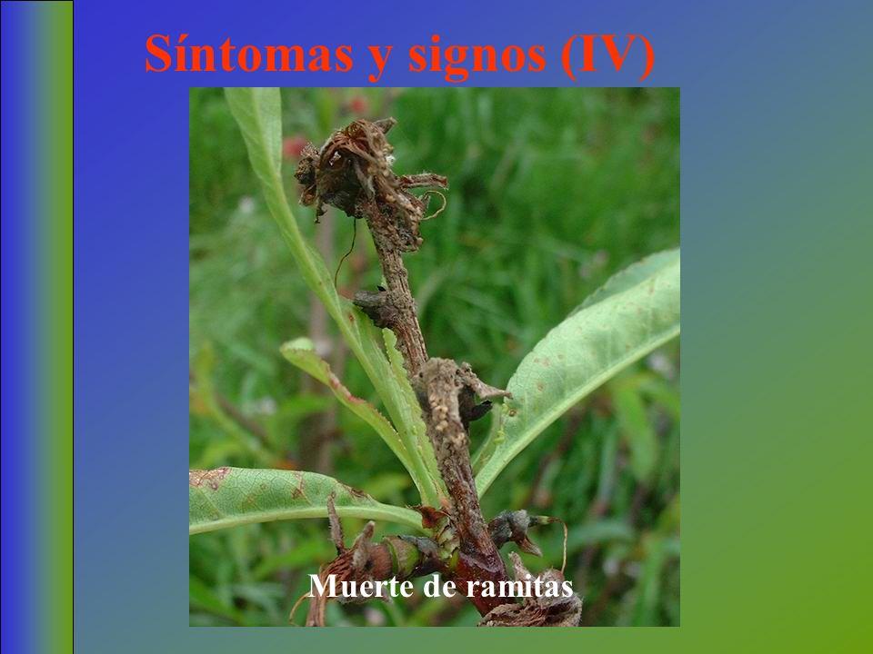 Síntomas y signos (IV) Muerte de ramitas