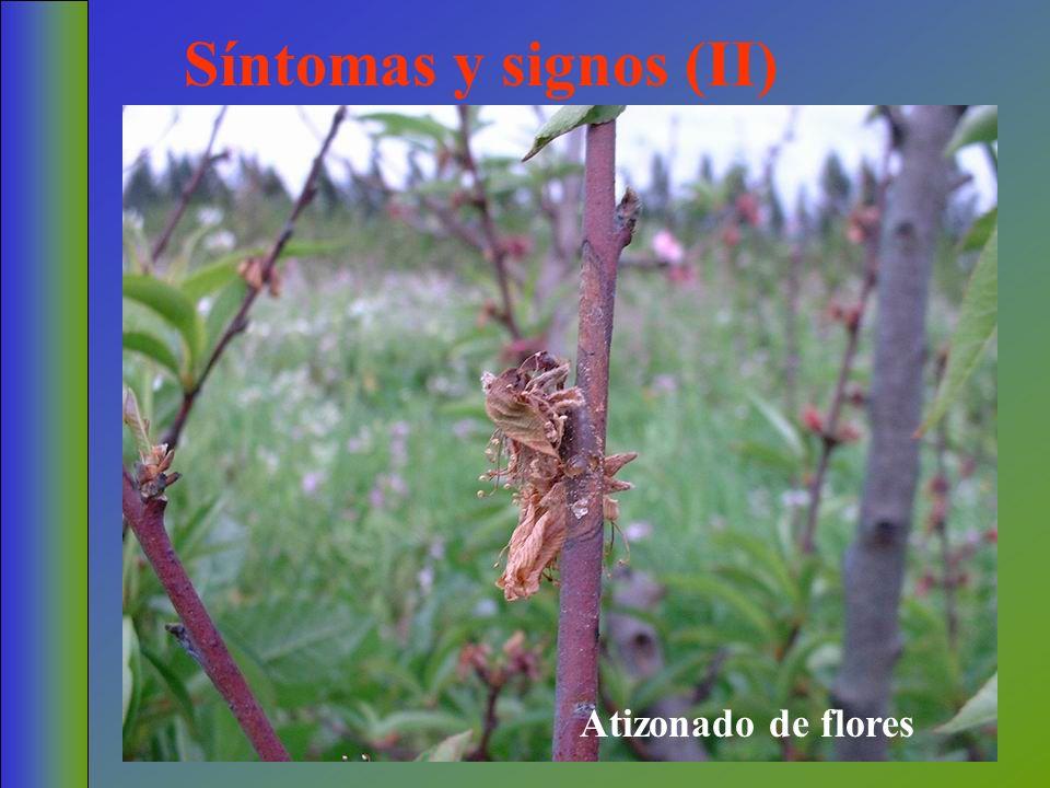 Síntomas y signos (II) Atizonado de flores