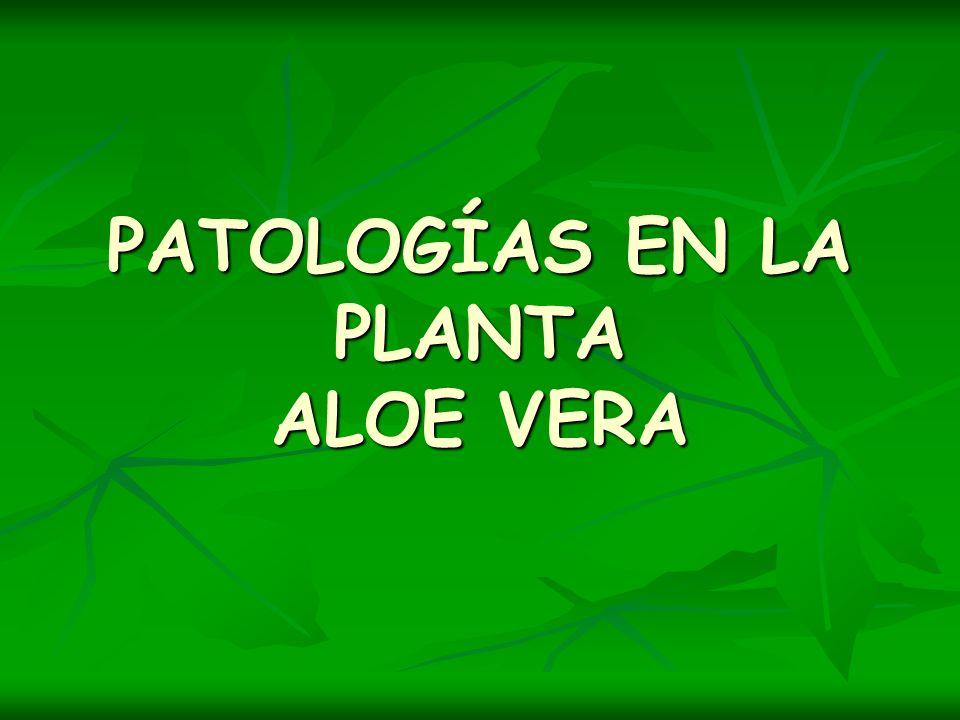 PATOLOGÍAS EN LA PLANTA ALOE VERA