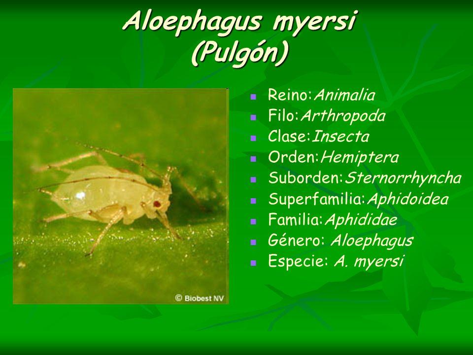 Aloephagus myersi (Pulgón)