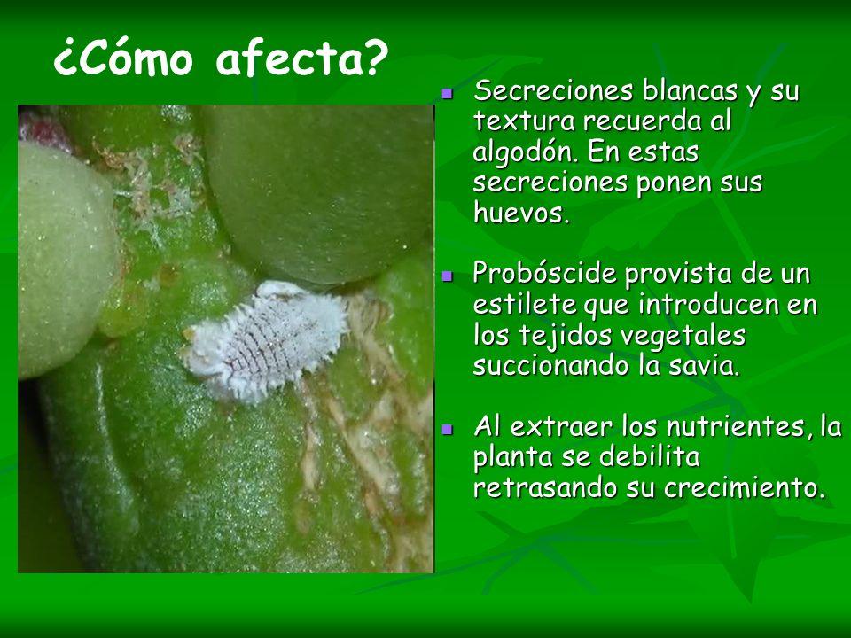 ¿Cómo afecta Secreciones blancas y su textura recuerda al algodón. En estas secreciones ponen sus huevos.