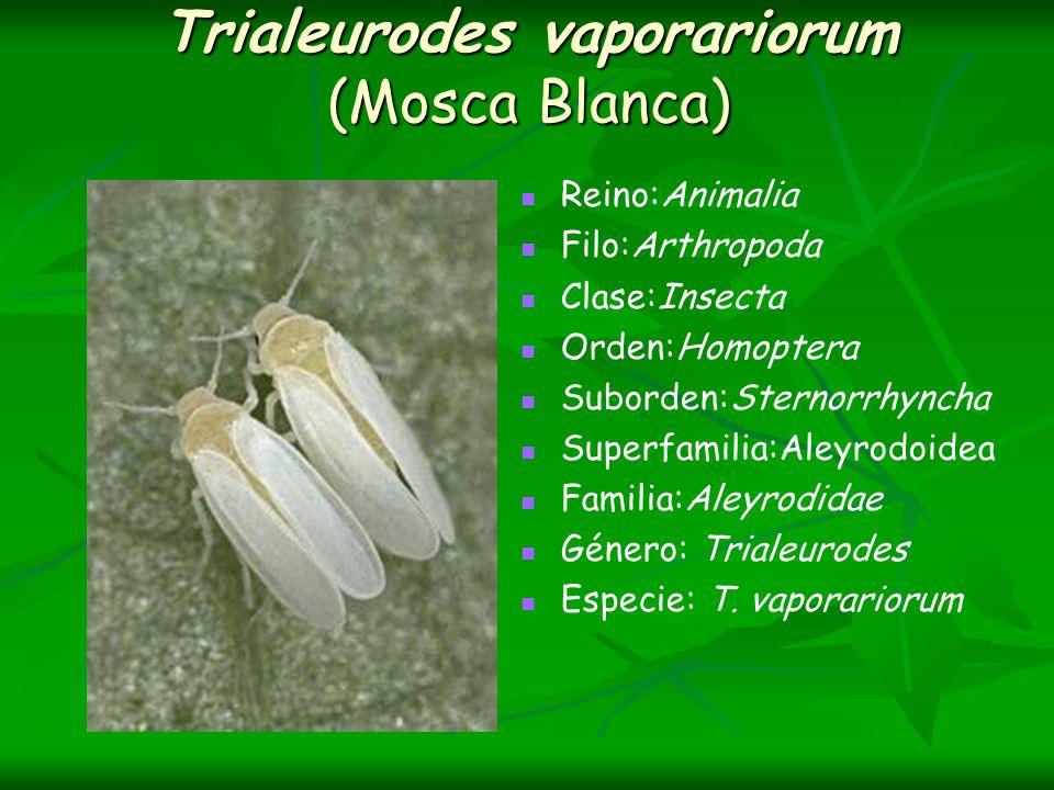 Trialeurodes vaporariorum (Mosca Blanca)