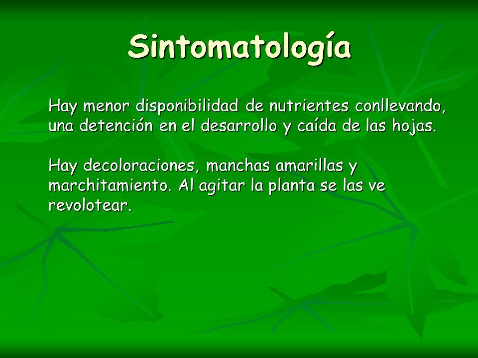 Sintomatología Hay menor disponibilidad de nutrientes conllevando, una detención en el desarrollo y caída de las hojas.