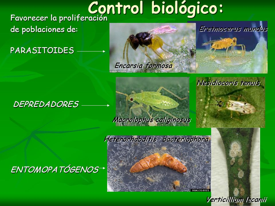Control biológico: Favorecer la proliferación de poblaciones de: