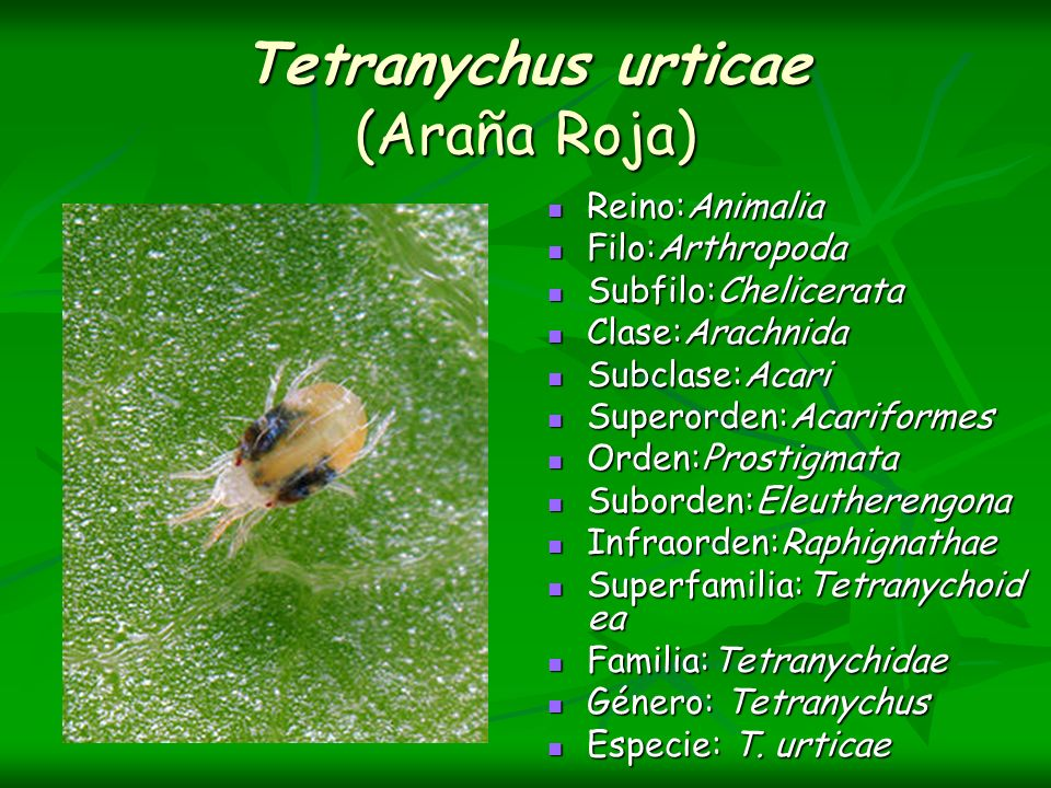 Tetranychus urticae (Araña Roja)