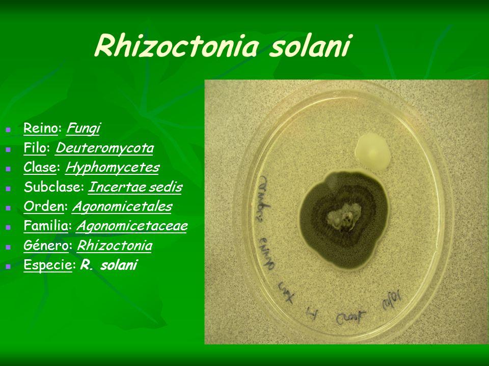 Rhizoctonia solani Reino: Fungi Filo: Deuteromycota