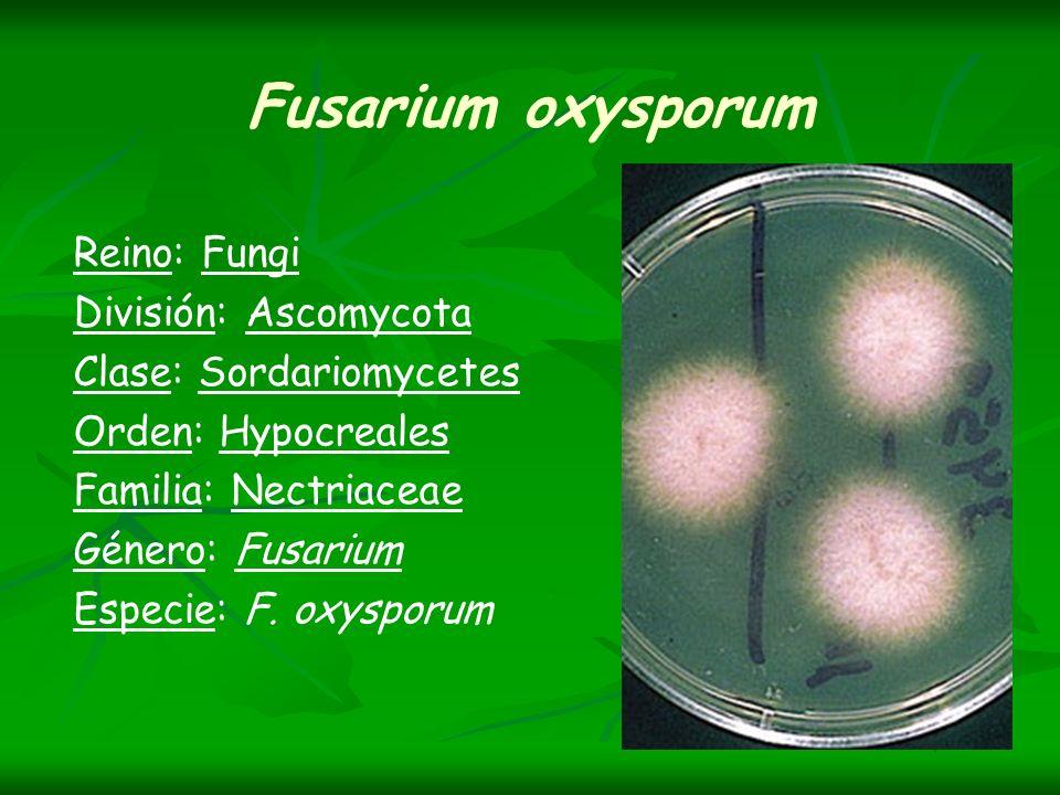 Fusarium oxysporum Reino: Fungi División: Ascomycota