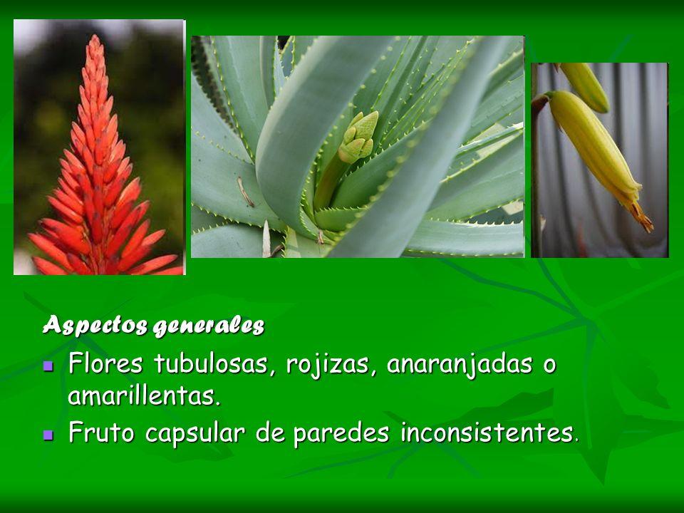 Aspectos generales Flores tubulosas, rojizas, anaranjadas o amarillentas.