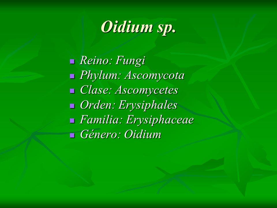 Oidium sp. Reino: Fungi Phylum: Ascomycota Clase: Ascomycetes