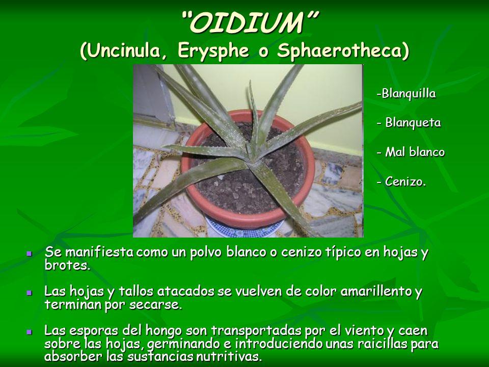 OIDIUM (Uncinula, Erysphe o Sphaerotheca)