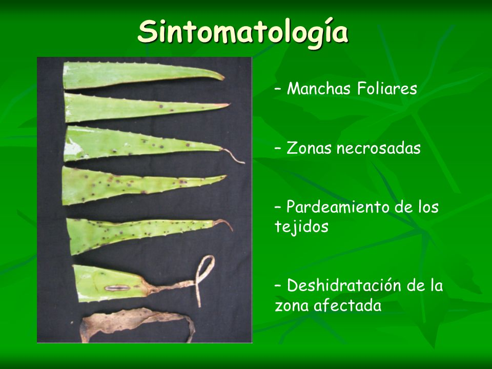 Sintomatología – Manchas Foliares – Zonas necrosadas