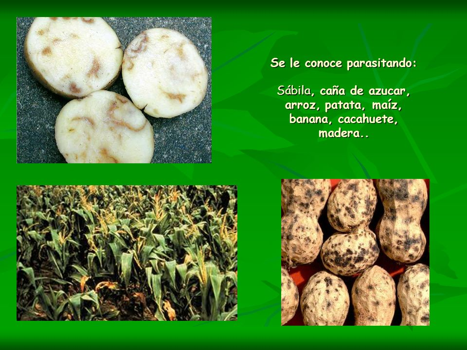Se le conoce parasitando: Sábila, caña de azucar, arroz, patata, maíz, banana, cacahuete, madera..
