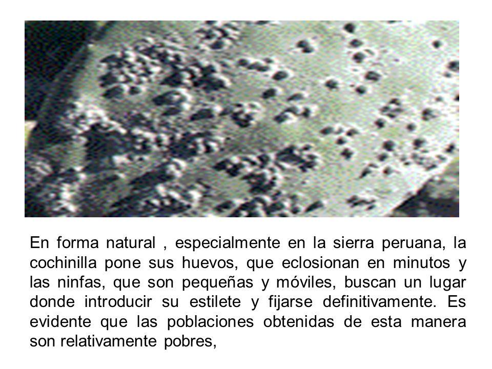 En forma natural , especialmente en la sierra peruana, la cochinilla pone sus huevos, que eclosionan en minutos y las ninfas, que son pequeñas y móviles, buscan un lugar donde introducir su estilete y fijarse definitivamente.