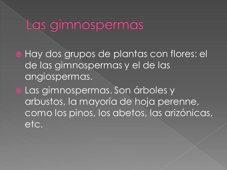 Las gimnospermas Hay dos grupos de plantas con flores: el de las gimnospermas y el de las angiospermas.