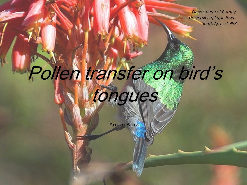Pollen transfer on bird's tongues