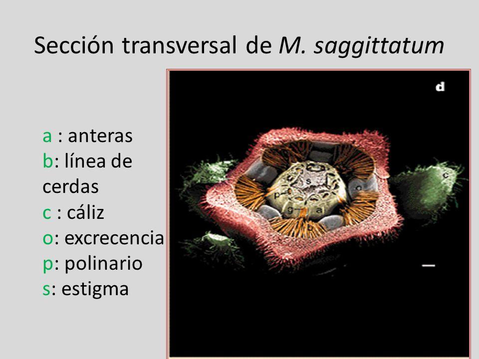 Sección transversal de M. saggittatum