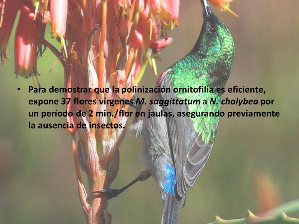 Para demostrar que la polinización ornitofilia es eficiente, expone 37 flores vírgenes M.
