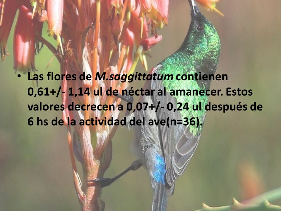 Las flores de M.saggittatum contienen 0,61+/- 1,14 ul de néctar al amanecer.