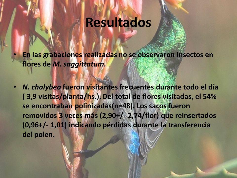 Resultados En las grabaciones realizadas no se observaron insectos en flores de M. saggittatum.