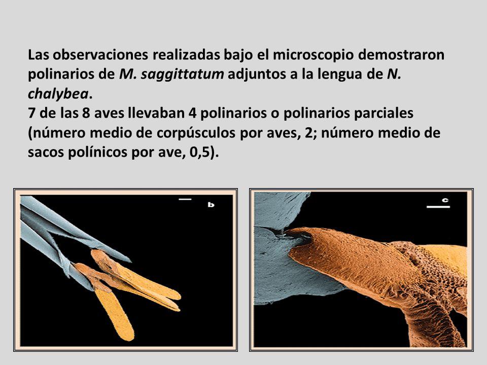 Las observaciones realizadas bajo el microscopio demostraron polinarios de M. saggittatum adjuntos a la lengua de N. chalybea.