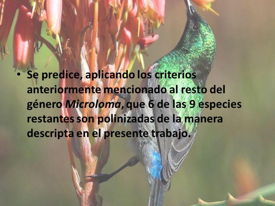 Se predice, aplicando los criterios anteriormente mencionado al resto del género Microloma, que 6 de las 9 especies restantes son polinizadas de la manera descripta en el presente trabajo.