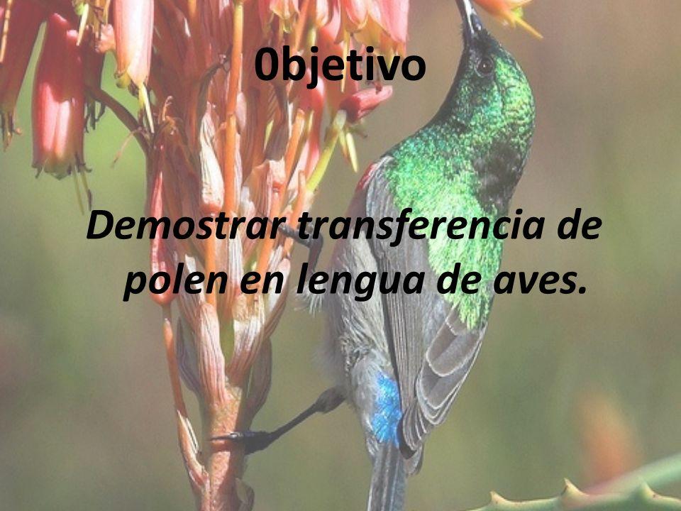 Demostrar transferencia de polen en lengua de aves.
