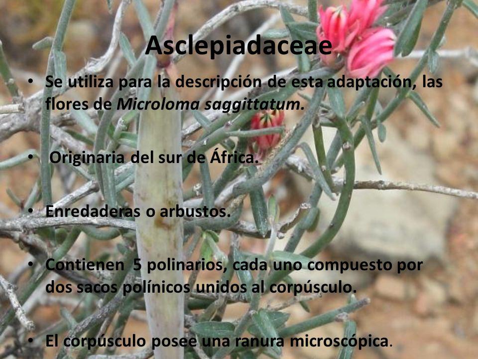 Asclepiadaceae Se utiliza para la descripción de esta adaptación, las flores de Microloma saggittatum.