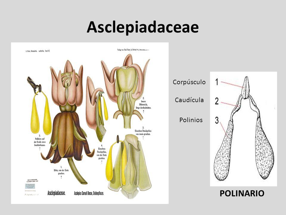 Asclepiadaceae Corpúsculo Caudícula Polinios POLINARIO