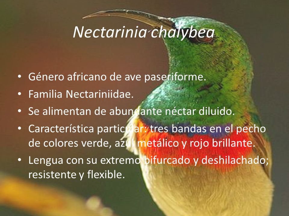 Nectarinia chalybea Género africano de ave paseriforme.