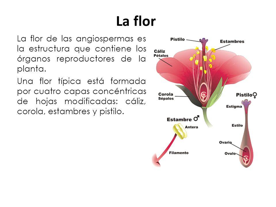La flor La flor de las angiospermas es la estructura que contiene los órganos reproductores de la planta.