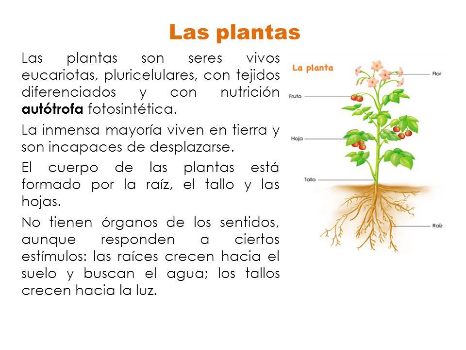 Las plantas Las plantas son seres vivos eucariotas, pluricelulares, con tejidos diferenciados y con nutrición autótrofa fotosintética.