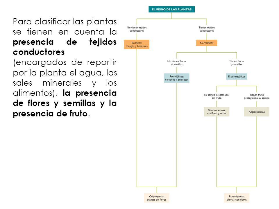 Para clasificar las plantas se tienen en cuenta la presencia de tejidos conductores (encargados de repartir por la planta el agua, las sales minerales y los alimentos), la presencia de flores y semillas y la presencia de fruto.