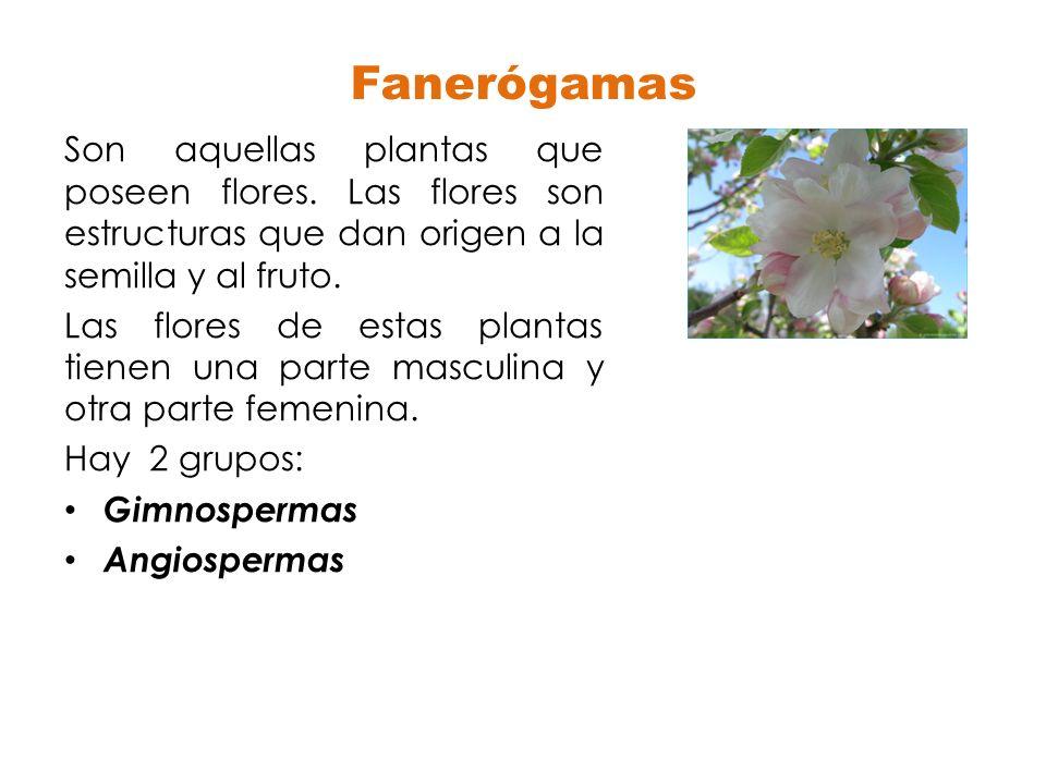Fanerógamas Son aquellas plantas que poseen flores. Las flores son estructuras que dan origen a la semilla y al fruto.
