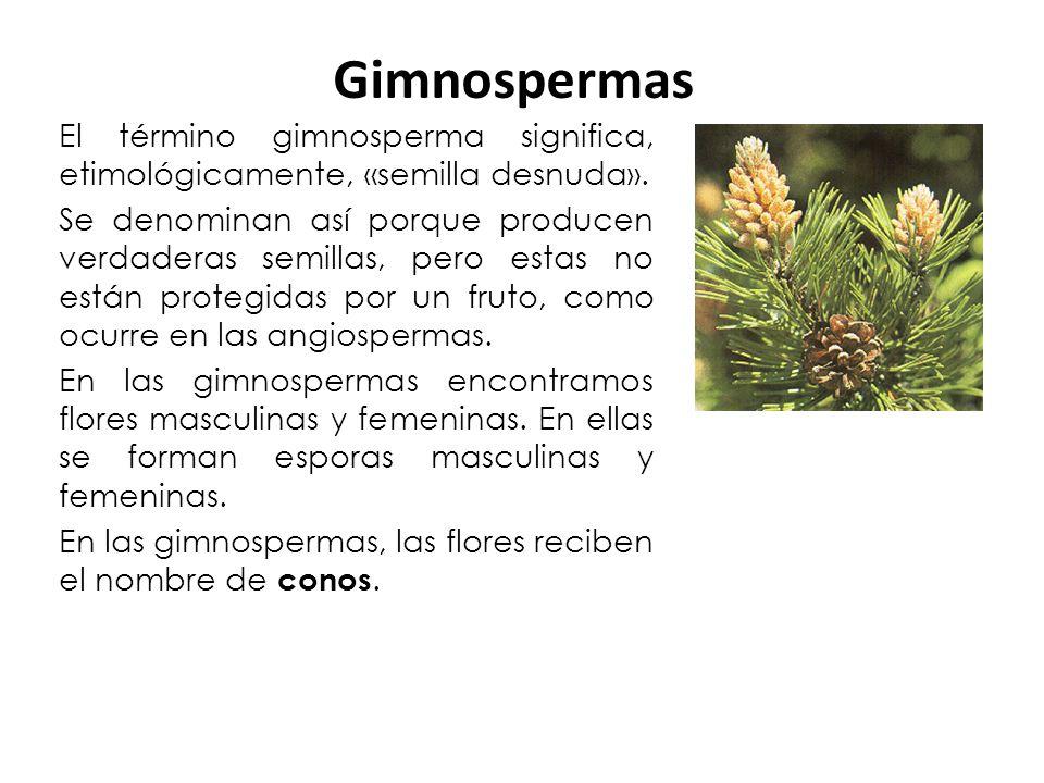 Gimnospermas El término gimnosperma significa, etimológicamente, «semilla desnuda».
