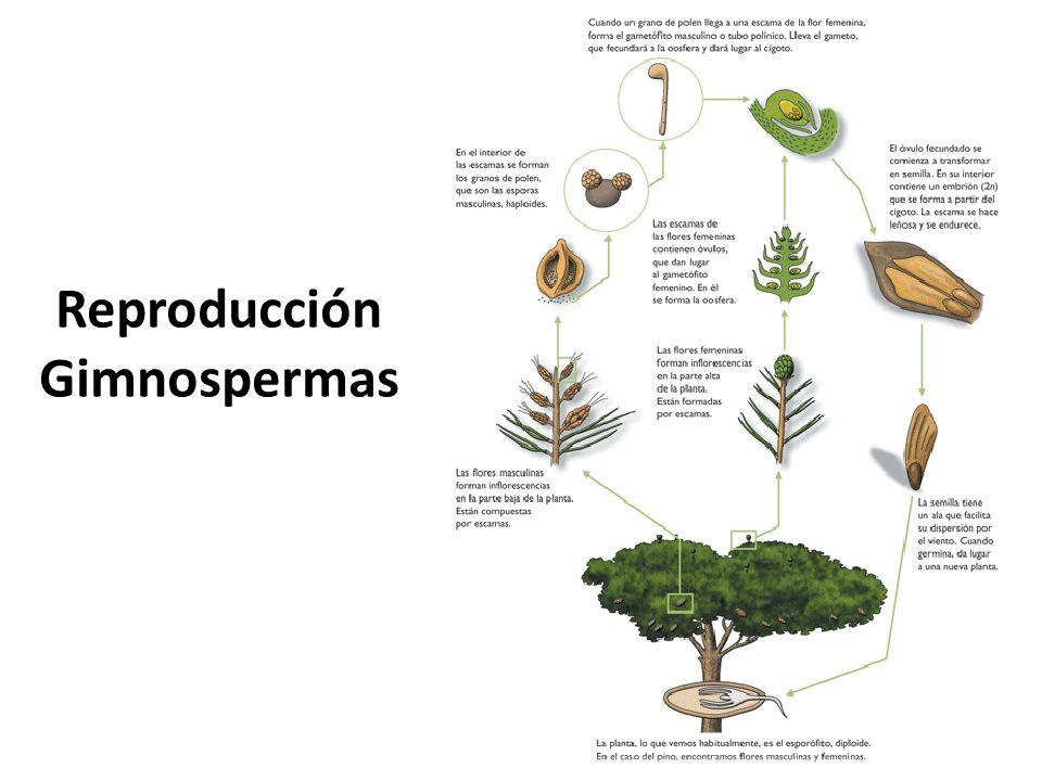 Reproducción Gimnospermas