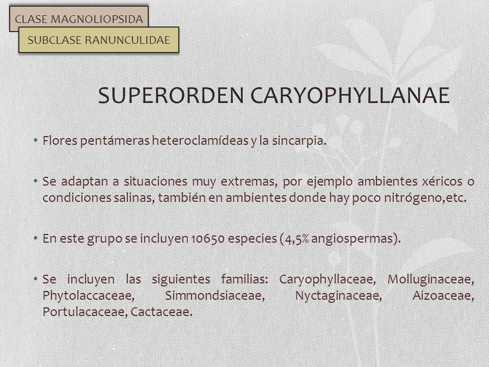 SUPERORDEN CARYOPHYLLANAE