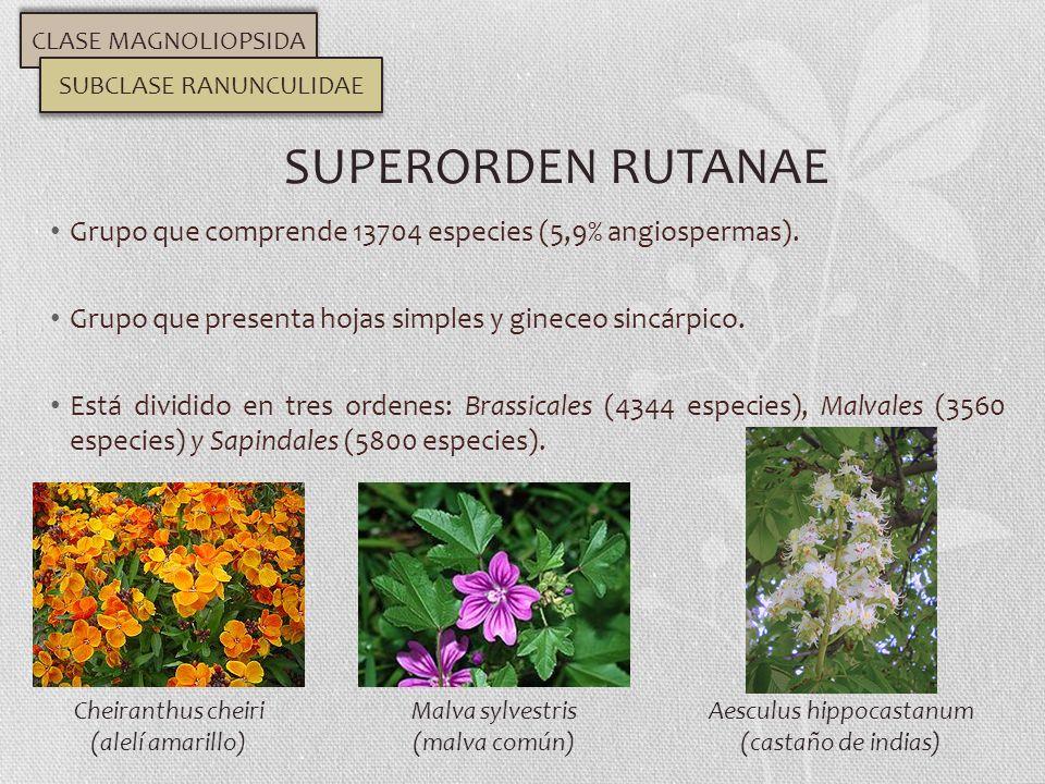CLASE MAGNOLIOPSIDA SUBCLASE RANUNCULIDAE. SUPERORDEN RUTANAE. Grupo que comprende 13704 especies (5,9% angiospermas).
