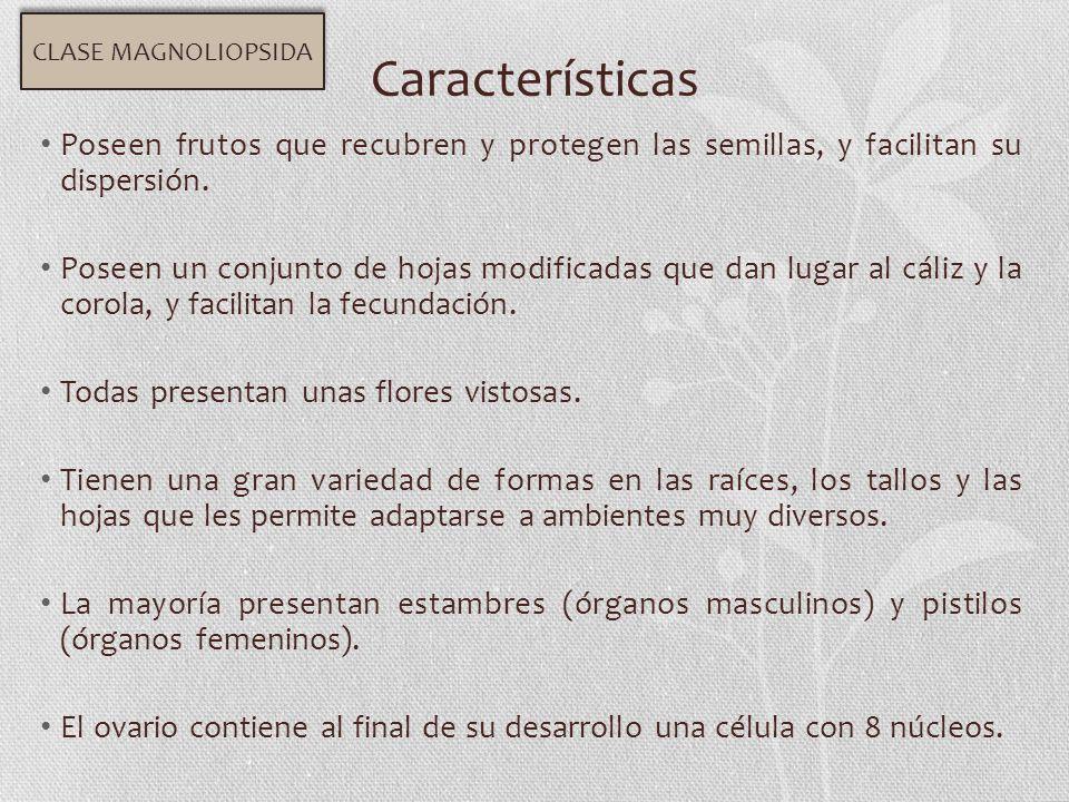 CLASE MAGNOLIOPSIDA Características. Poseen frutos que recubren y protegen las semillas, y facilitan su dispersión.