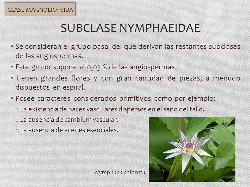 CLASE MAGNOLIOPSIDA SUBCLASE NYMPHAEIDAE. Se consideran el grupo basal del que derivan las restantes subclases de las angiospermas.
