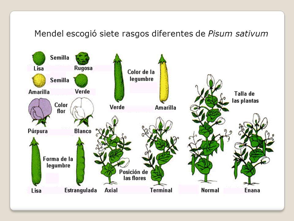 Mendel escogió siete rasgos diferentes de Pisum sativum
