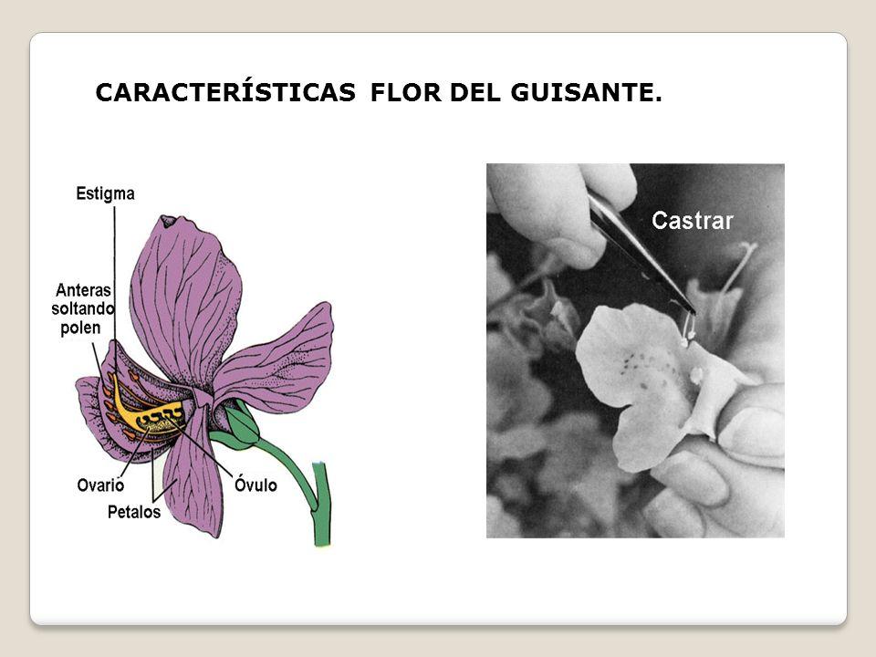 CARACTERÍSTICAS FLOR DEL GUISANTE.
