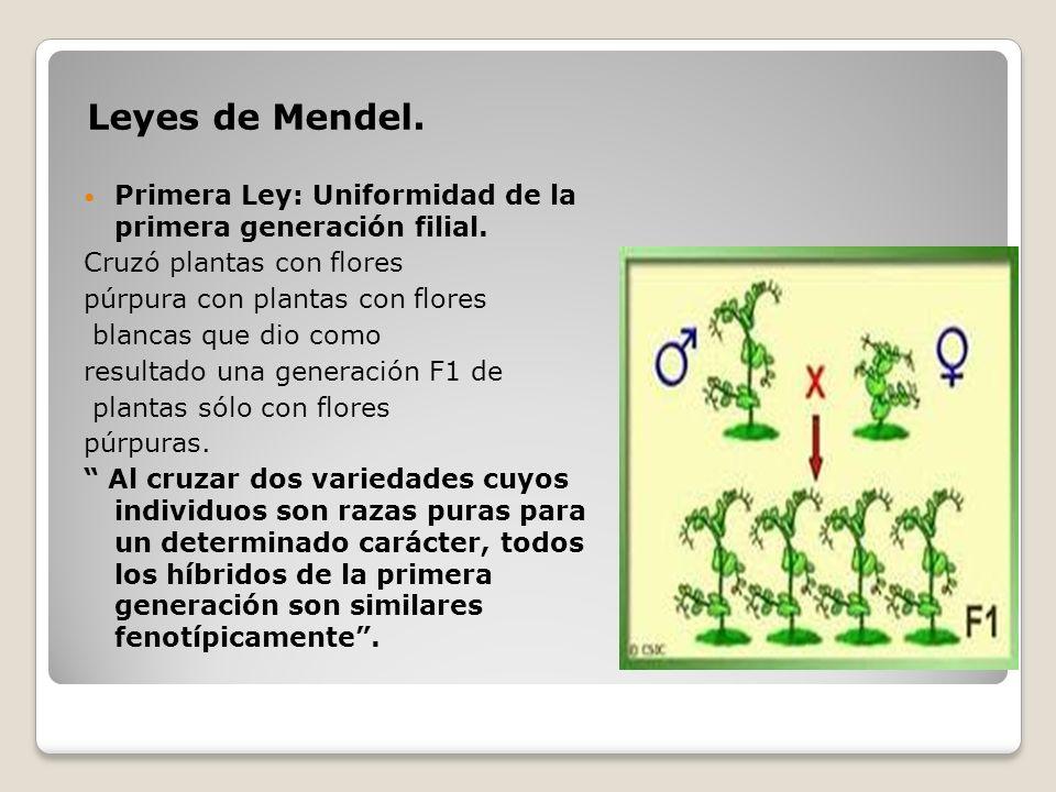 Leyes de Mendel. Primera Ley: Uniformidad de la primera generación filial. Cruzó plantas con flores.